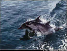 Bow Racing Dolphins